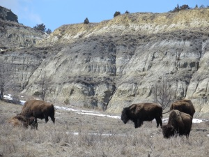 Bison in the badlands of western North Dakota.
